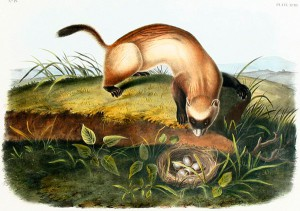 Audubon print, Black-Footed Ferret