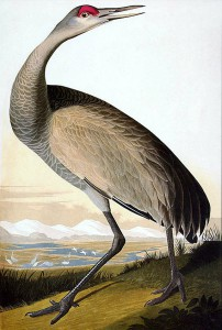 John James Audubon, Whooping Crane - Young (Sandhill Crane), handcolored lithograph - octavo size, c. 1839-1842 Gift of Harold & Marian Andersen Museum of Nebraska Art Collection