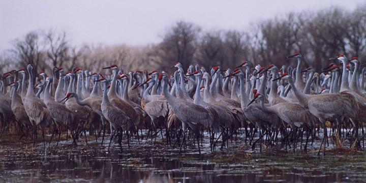 Cranes: Taking Flight