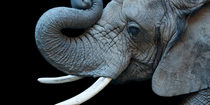 Joel Sartore, African elephant (Loxodonta africana), photograph