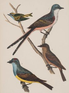 Untitled (four birds), Titian Ramsay Peale, engraving, n.d.