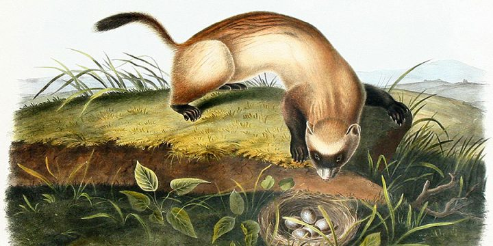 James Woodhouse Audubon, Black Footed Ferret, handcolored lithograph, 1846