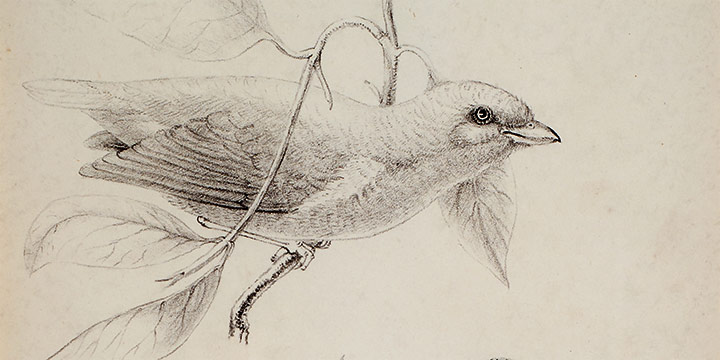 Titian Ramsay Peale, Three Birds, lithograph, n.d.