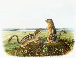 John James Audubon, Leopard Spermophile, handcolored lithograph - imperial size, 1944