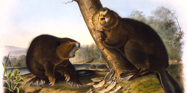 John James Audubon, 1993.03.02, American Beaver, handcolored lithograph - imperial size, 1844