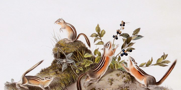 John James Audubon, Four Striped Ground Squirrel, handcolored lithograph - imperial size, 1843