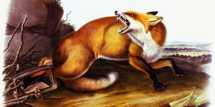 John James Audubon, American Red Fox, handcolored lithograph - imperial size, 1846