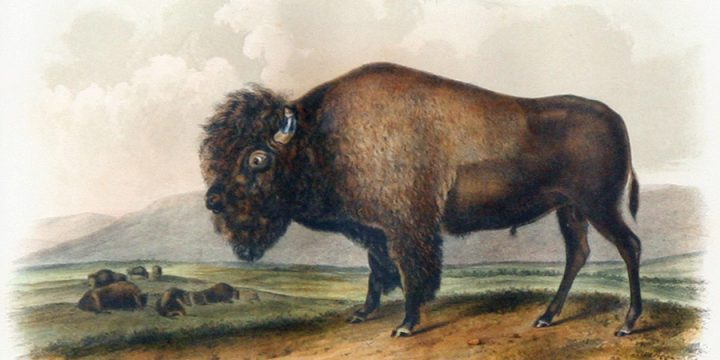 John James Audubon, American Bison or Buffalo, handcolored lithograph - octavo size, n.d.