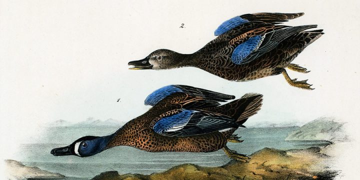 John James Audubon, Blue-winged Teal, handcolored lithograph - octavo size, n.d.