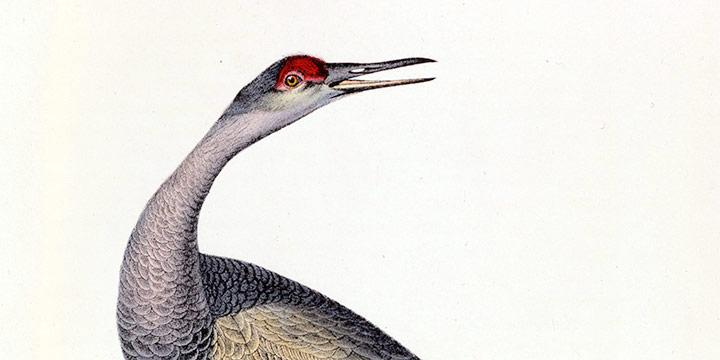 John James Audubon, Hooping Crane - Young (Sandhill Crane), handcolored lithograph - double elephant folio size, 1835