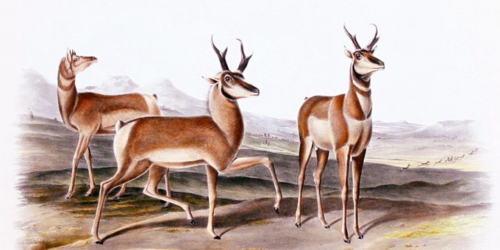 John James Audubon, Prong-Horned Antelope, handcolored lithograph - imperial size, 1845