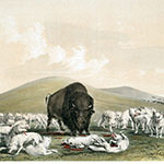 George Catlin, Catlin's North American Indian Portfolio, Buffalo Hunt, White Wolves Attacking a Buffalo Bull, lithograph, c. 1844