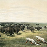 George Catlin, Catlin's North American Indian Portfolio, Buffalo Hunt, Under the White Wolf Skin, lithograph, c. 1844