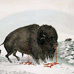 George Catlin, Catlin's North American Indian Portfolio, Wounded Buffalo Bull, lithograph, c. 1844
