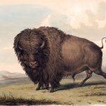 George Catlin, Buffalo Bull, Grazing, lithograph, c. 1844