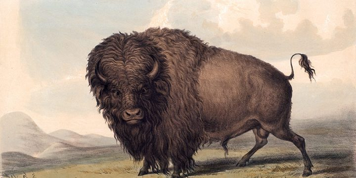 George Catlin, Buffalo Bull, Grazing, lithograph, c. 1844
