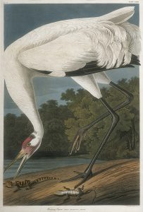 John James Audubon, Whooping Crane, handcolored lithograph - octavo size, c. 1839-1842
