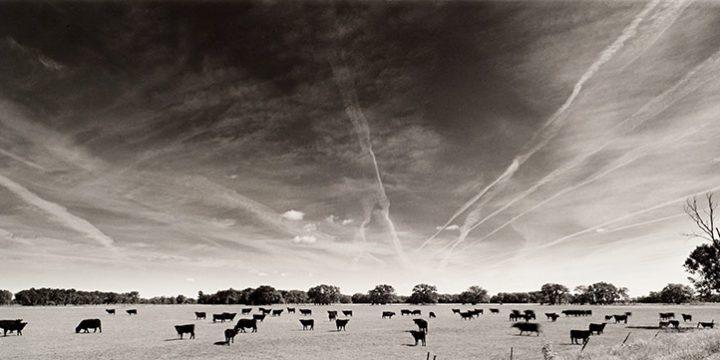 Larry S. Ferguson, #131-96-6 - Black Angus, Holt County, Nebraska, silver print (9/25), 2002