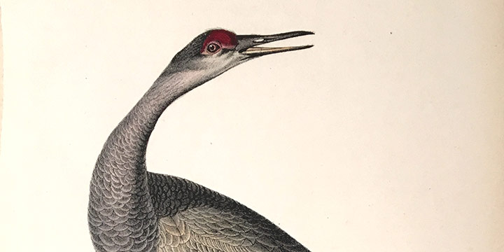 John James Audubon, Whooping Crane - Young (Sandhill Crane), handcolored lithograph - octavo size, c. 1839-1842