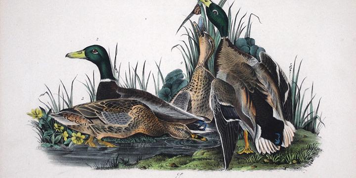 "John James Audubon, Mallard (two drakes, two hens), handcolored lithograph - octavo size, c. 1839 - 1842, 6 × 9½"""