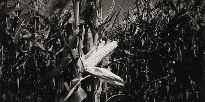 "Larry S. Ferguson, Ear of Ripened Seed Corn, black and white photograph, 1977, 11 × 14"""
