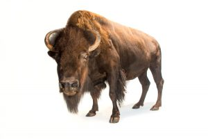 Joel Sartore, American Bison, 2014, Ink Jet Print, From the collection of Joel Sartore