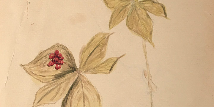 Miriam Worlock, Bunchberry, watercolor, n.d.