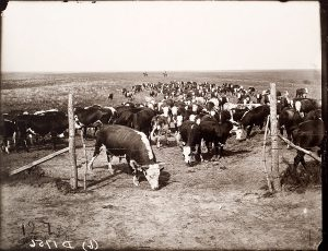 Solomon D. Butcher, Cattle on the Mack Downey ranch near Georgetown, Custer County, Nebraska 1903, black & white photograph (from glass plate negative in the Nebraska State Historical Society Collection), c. 1982-1984