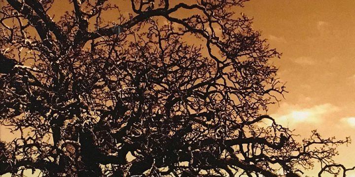 Camilla (Millie) Roark, Texas Trees 1, color photograph, 2006