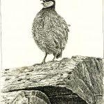 Robert Weaver, Untitled (quail), ink, 1980