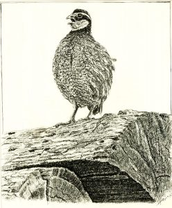 Robert Weaver, Untitled (quail), ink, 1980