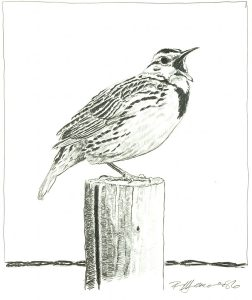 Robert Weaver, Untitled (meadowlark on post), pencil, 1986