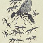 Rudy Pozzatti, Darwin's Bestiary - Ants, artist's book: lithograph (79/191), 1985-1986