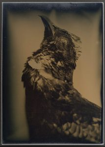 Larry Gawel, Pheasant from the series Harvest, Unique Dryplate Tintype, 2014, Collection of the Artist
