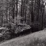 Wright Morris, Dogwood, Near Valley Forge, Pennsylvania, 1954, silver print, 1975