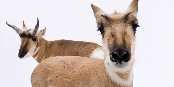 Joel Sartore Proghorn Antelope color photograph 1995